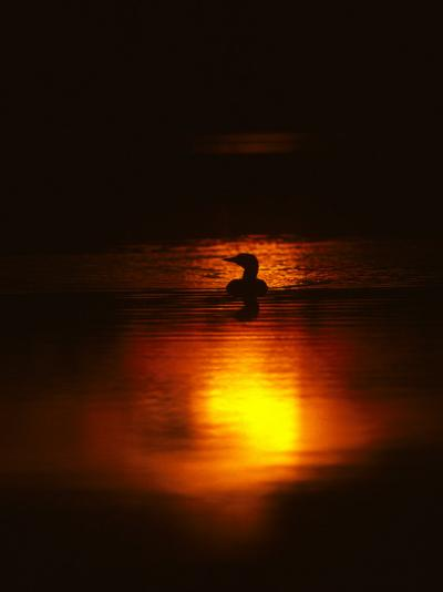 Common Loon Floats on a Lake in New York at Sunset-Michael S^ Quinton-Photographic Print