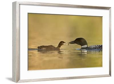 Common Loon (Gavia Immer) Adult Feeding a Chick, British Columbia, Canada-James Hager-Framed Photographic Print