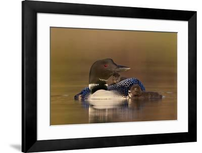 Common Loon (Gavia immer) adult with two chicks, Lac Le Jeune Provincial Park, British Columbia, Ca-James Hager-Framed Photographic Print