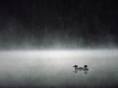 Common Loon (Gavia Immer) Mated Couple on a Misty Lake, Wyoming-Michael S^ Quinton-Photographic Print