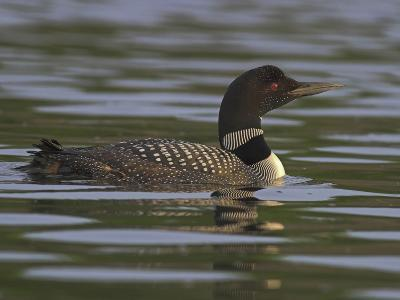 Common Loon (Gavia Immer) Swimming on a Lake in Ontario, Canada-Glenn Bartley-Photographic Print