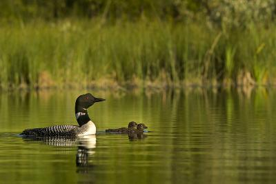 Common Loon with Pair of Newborn Chick on Small Mountain Lake Near Whitefish, Montana, Usa-Chuck Haney-Photographic Print