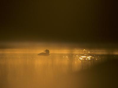 Common Loon, Wyoming-Michael S^ Quinton-Photographic Print