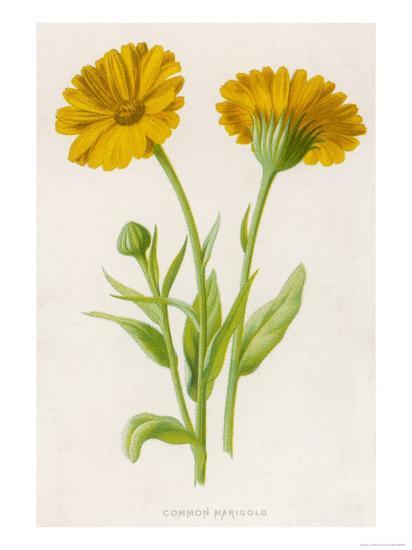 Common Marigold--Giclee Print