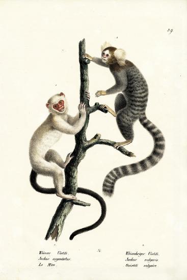 Common Marmoset, 1824-Karl Joseph Brodtmann-Giclee Print
