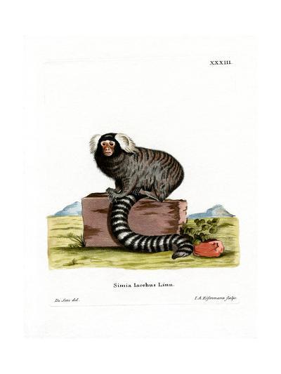 Common Marmoset--Giclee Print