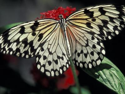 Common Mime Butterfly, Butterfly World, Ft Lauderdale, Florida, USA-Darrell Gulin-Photographic Print