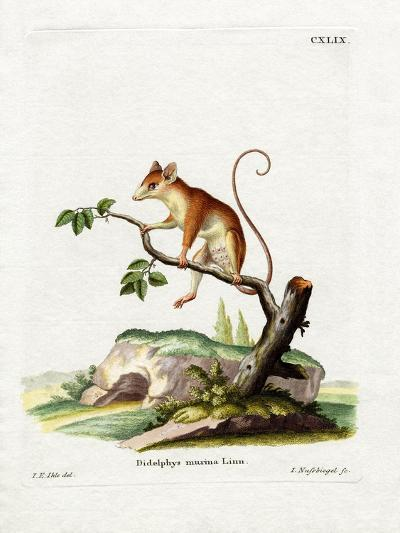 Common Mouse Opossum--Giclee Print