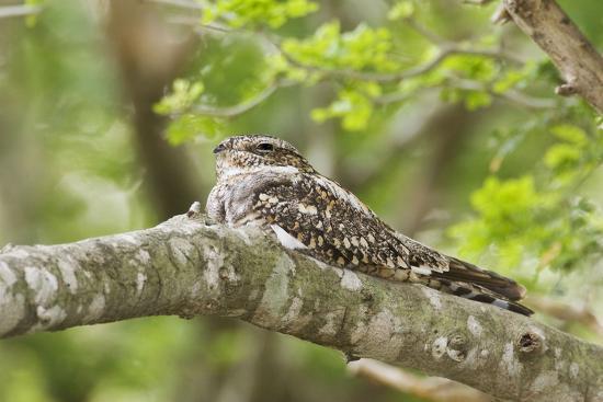 Common Nighthawk--Photographic Print