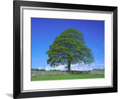 Common Oak, Near Bradwell, White Peak, Peak District National Park, UK-Mark Hamblin-Framed Photographic Print