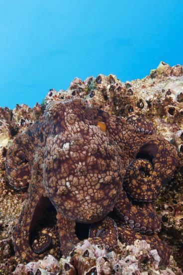 Common Octopus Camouflaged (Octopus Vulgaris)-Reinhard Dirscherl-Photographic Print