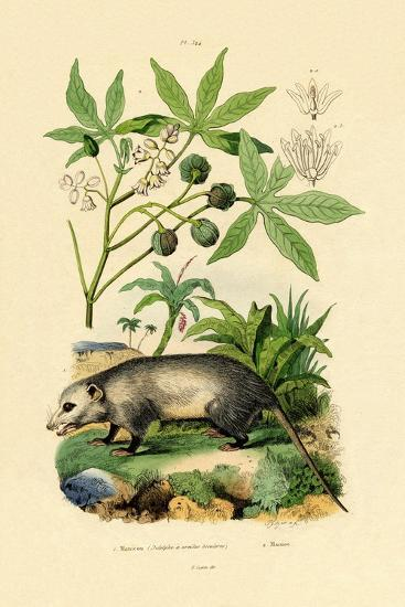Common Opossum, 1833-39--Giclee Print