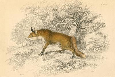 Common or Red Fox (Vulpes Vulpe), 1828--Giclee Print