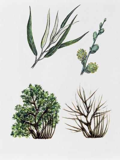 Common Osier or Osier Tree (Salix Viminalis)--Giclee Print