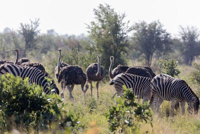 common ostrich and burchell\u0027s plains zebra , kruger nat\u0027l parkcommon ostrich and burchell\u0027s plains zebra , kruger nat\u0027l park, south africa, africa photographic print by christian kober art com