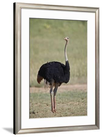 Common ostrich (Struthio camelus), male in breeding plumage, Kgalagadi Transfrontier Park, South Af-James Hager-Framed Photographic Print