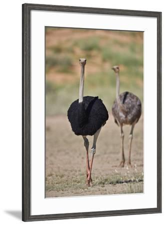 Common ostrich (Struthio camelus), male in breeding plumage with female, Kgalagadi Transfrontier Pa-James Hager-Framed Photographic Print
