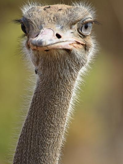 Common Ostrich-William Manning-Photographic Print