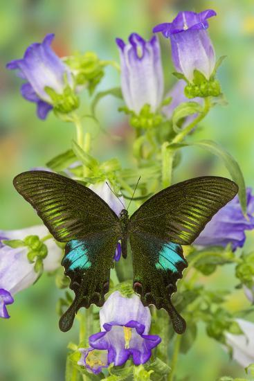 Common Peacock Swallowtail Butterfly, Papilio Polyctor-Darrell Gulin-Photographic Print