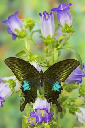 https://imgc.artprintimages.com/img/print/common-peacock-swallowtail-butterfly-papilio-polyctor_u-l-pyqppy0.jpg?p=0