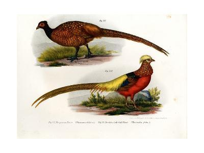 Common Pheasant, 1864--Giclee Print