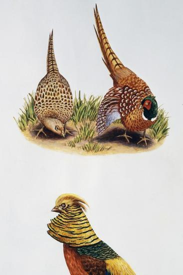 Common Pheasants Pair (Phasianus Colchicus) and Golden Pheasant (Chrysolophus Pictus), Phasianidae--Giclee Print