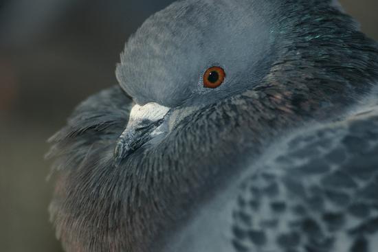 Common Pigeon-DLILLC-Photographic Print