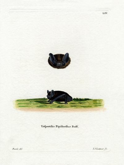 Common Pipistrelle--Giclee Print