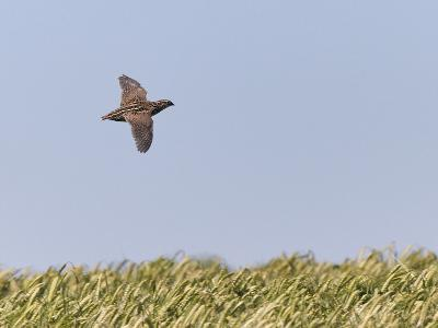 Common Quail (Coturnix Coturnix) Flying over Field, Spain, May-Markus Varesvuo-Photographic Print