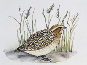 Common Quail (Coturnix Coturnix), Phasianidae