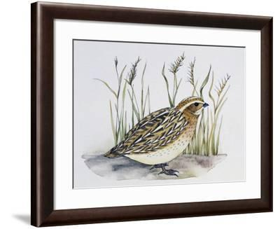 Common Quail (Coturnix Coturnix), Phasianidae--Framed Giclee Print
