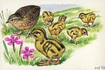 Common Quail Coturnix Coturnix with Chicks--Giclee Print
