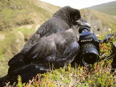 Common Raven, and Camera, Iceland-Philippe Henry-Photographic Print