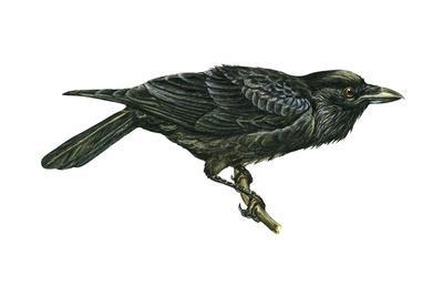https://imgc.artprintimages.com/img/print/common-raven-corvus-corax-birds_u-l-q135lyh0.jpg?p=0
