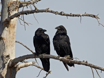 Common Raven (Corvus Corax) Pair, Yellowstone National Park, Wyoming, USA, North America-James Hager-Photographic Print