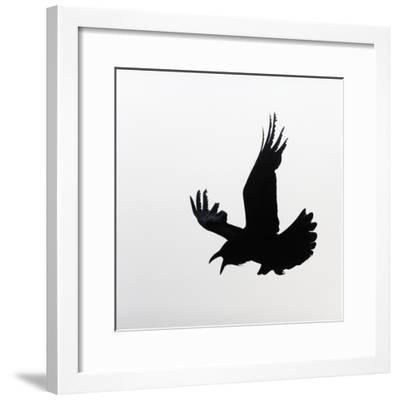 Common Raven Screaming-Arthur Morris-Framed Photographic Print