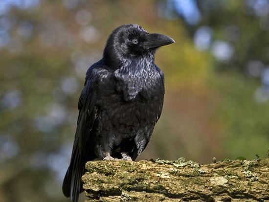 Common Raven-Linda Wright-Photographic Print