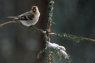 Common Redpolls in Spruce Tree During Snowstorm in Ak Winter-Design Pics Inc-Photographic Print