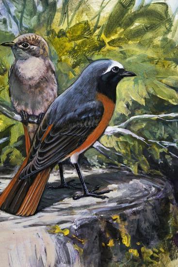 Common Redstart (Phoenicurus Phoenicurus), Turdidae--Giclee Print