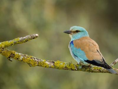 Common Roller Perched, South Spain-Inaki Relanzon-Photographic Print