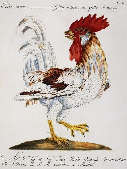 Common Rooster (Gallus Vulgaris--Giclee Print