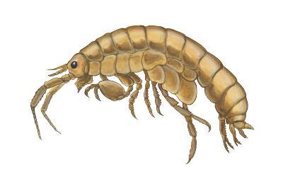 Common Sand Flea (Orchestia Agilis), Crustaceans-Encyclopaedia Britannica-Art Print