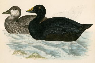 Common Scoter-Beverley R. Morris-Giclee Print