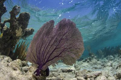 Common Sea Fan, Lighthouse Reef, Atoll, Belize-Pete Oxford-Photographic Print