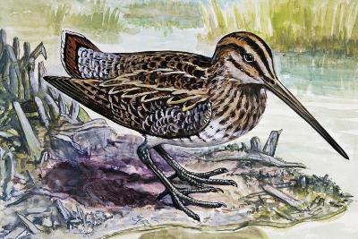 Common Snipe (Gallinago Gallinago), Scolopacidae--Giclee Print