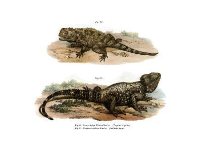 Common Spiny Agama--Giclee Print