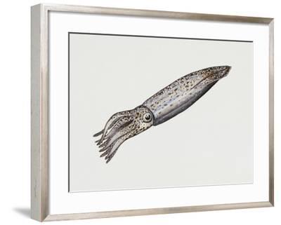 Common Squid or Sea Arrow (Loligo Vulgaris), Loliginidae, Artwork by Rebecca Hardy--Framed Giclee Print