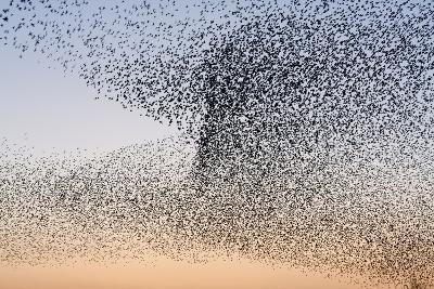 Common Starling Flock--Photographic Print
