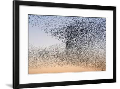 Common Starling Flock--Framed Photographic Print