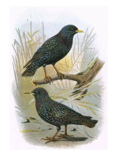 Common Starling (Top) and Intermediate Starling (Bottom)-English-Giclee Print